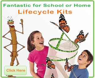 Buy stick insect kits from Spotty Green Frog